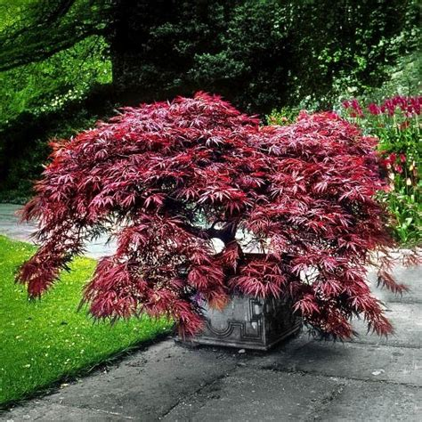 garnet japanese maple  sale   tree center