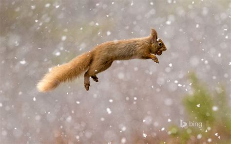 red squirrel wallpapers hd wallpapers id