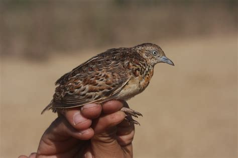 andalusian buttonquail morocco sylvaticus turnix palearctic western radi doukkala mohamed andalousie