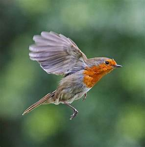 flying robin | Birds | Pinterest