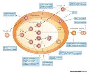 Non Hodgkin's Lymphoma Cells