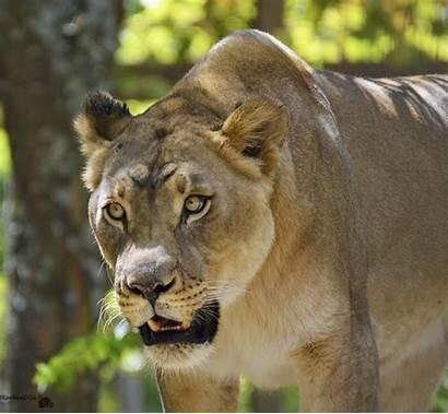 Exotic Wild Animal Captive Lion Stare Edited