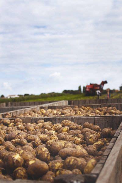 comment cuisiner les pommes de terre de noirmoutier primeurs de noirmoutier comment invente t on une nouvelle pomme de terre