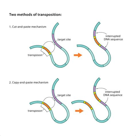 Genetic Diagram Gene Dna by Transposable Dna Elements Part 1 Basics And Importance