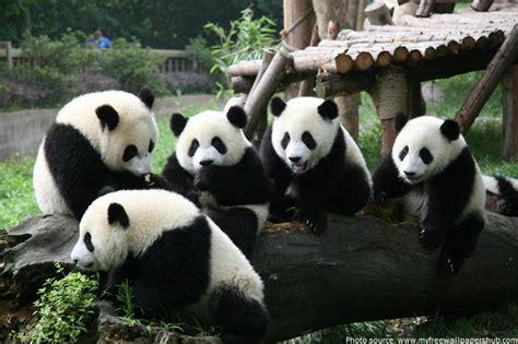 facts panda pandas giant interesting kickassfacts