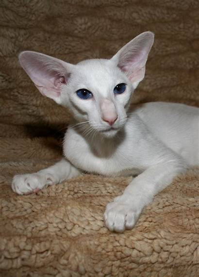 Oriental Cat Cats Shorthair Siamese Breed Foreign