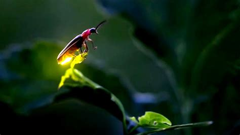 lights that don t attract bugs natural lightning bugs at night ii tennessee fireflies a