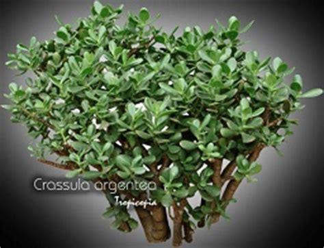 tropicopia en ligne plante d int 233 rieur conseils soins sur l entretien de crassula argentea