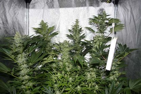 temps de floraison cannabis interieur white widow
