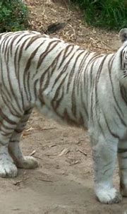 white tiger - Picture of Audubon Zoo, New Orleans ...