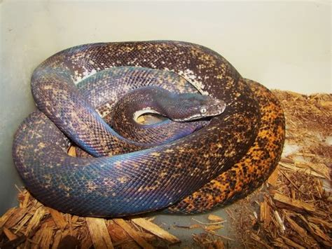 Savu Python Facts and Pictures | Reptile Fact
