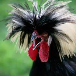 Black White Chickens with Feathers On Head