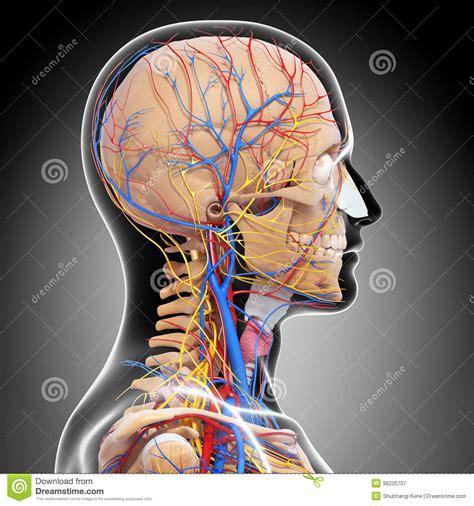 anatomy  circulatory system  brain royalty  stock