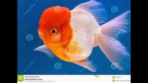 All Types Of Goldfish