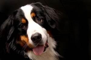 Berner Sennenhund Gewicht : berner sennenhund hunde rassen die tier welt com ~ Markanthonyermac.com Haus und Dekorationen