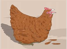 How to Hypnotize a Chicken 10 Steps with Pictures wikiHow
