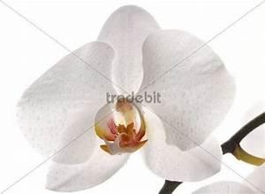 Orchidee Klebrige Tropfen : wei e orchidee mit wassertropfen runterladen natur ~ Lizthompson.info Haus und Dekorationen