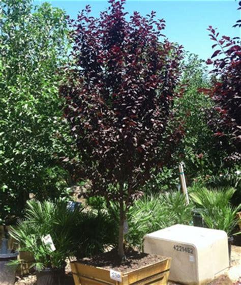 purple leaf plum tree for sale purple leaf plum 230