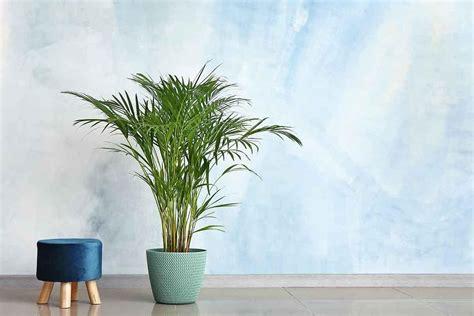 Palmeira-areca: como cuidar - GreenMe