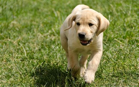 How To Train A Labrador Puppy Or Dog To Come
