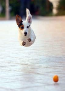 Jack Russell Terrier Ernährung