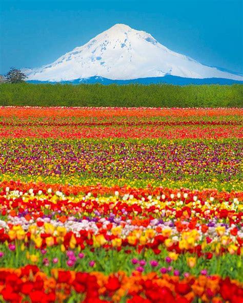 tulip farms in usa flower photography mountain photo tulip farm photograph spring print red yellow oregon nat1