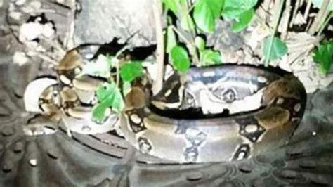 dangerous boa constrictor  police  slip