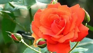 Begleitpflanzen Für Rosen : wurzelnackte rosen pflanzen so sorgen sie f r eine ppige bl te ~ Orissabook.com Haus und Dekorationen