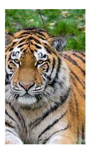 1080p Images: Tiger Hd Wallpaper 1080p Download
