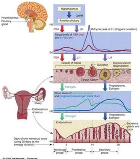 Janin Tidak Berkembang Web Log Pembelajaran Siklus Menstruasi Dan Kehamilan