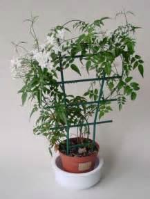 jasminum polyanthum jasmine our house plants