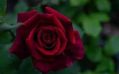 Rose 4k Petals Flower Ultra Wallpapers Bud