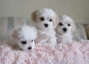 Havanese Puppies Indiana