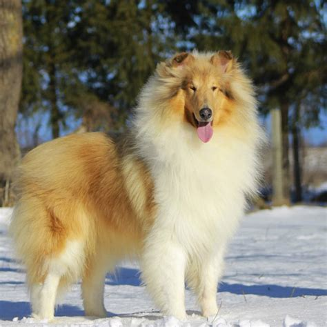 scotch collie breed guide learn   scotch collie