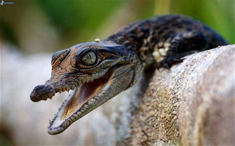 aligator cuisine aligator