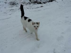 Weißer Wurm Katze : katze mit schwarz weisser fellzeichnung ist in winterlicher landschaft auf der suche nach ein ~ Markanthonyermac.com Haus und Dekorationen
