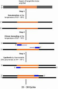 Steps Involved In Pcr  Polymerase Chain Reaction  Process