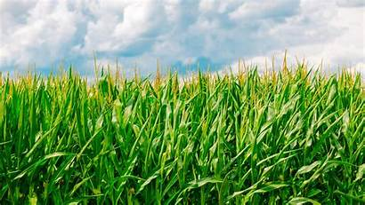 Corn Field Farm 4k Pertanian Agriculture Jagung