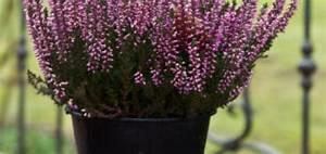Plantes D Hiver Extérieur Balcon : fleurs d hiver balcon pivoine etc ~ Nature-et-papiers.com Idées de Décoration