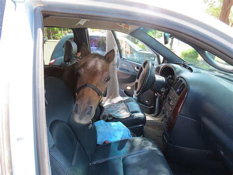 miniature service horses kjzz horse animals minivan inside disabled