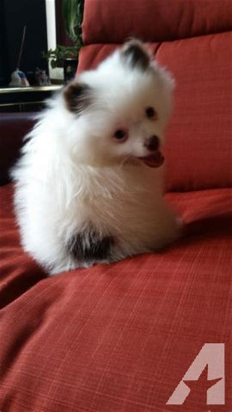 blue eyed white teddy bear male pomeranian puppy  sale