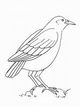 Crow Coloring Pages Crows Printable Birds Standing Coloringpages101 Mycoloring Recommended sketch template