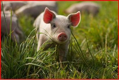 Pig Piglet Wallpapers Christmas Pigs Res Pict