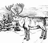 Elk Coloring Pages Winter sketch template