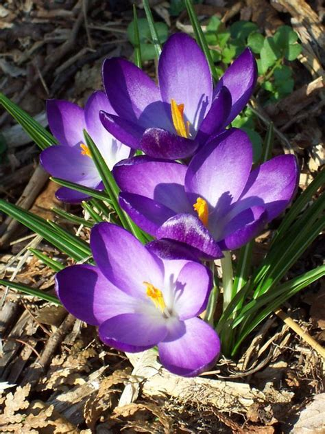 crocus plants for shade 37 best flowers crocus images on pinterest beautiful flowers exotic flowers and gardening