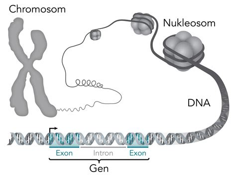 File:Chromosom-DNA-Gen.png - Wikimedia Commons