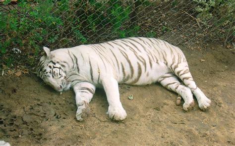 zoo lisboa tigre branco olhares animais