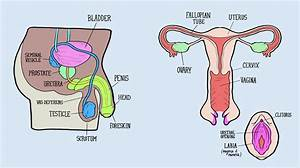 Male And Female Reproductive Systems Harder To Label For Some Than Others