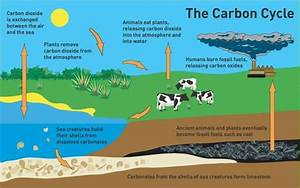 What Is Carbon Cycle  Its Process And Its Importance