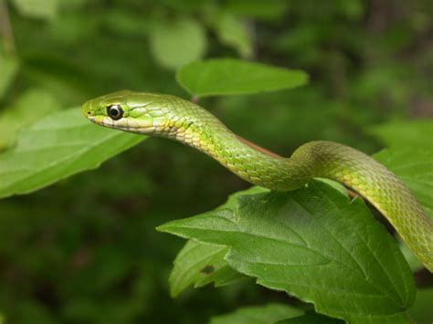 green snake animal pictures green snake